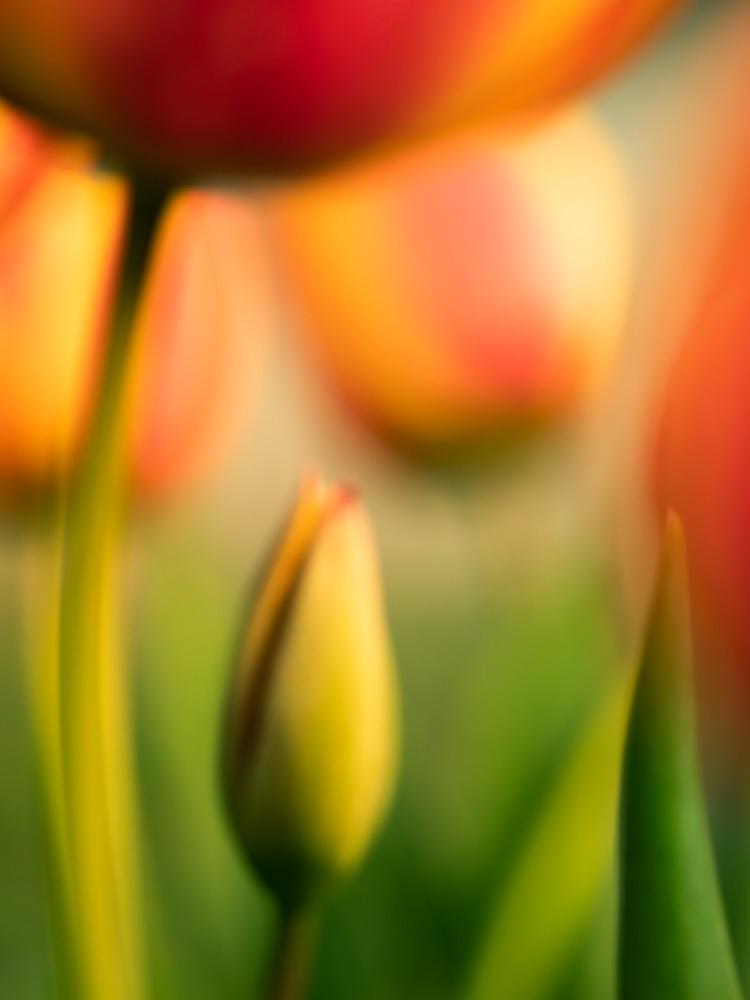 Photo-Art-Grace-Tulipe-12